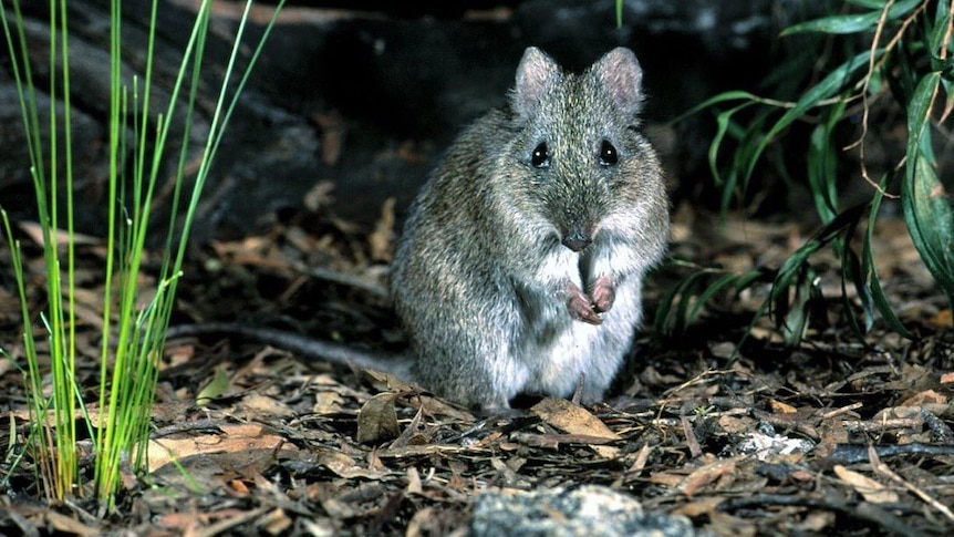 A Gilbert's potoroo standing in dry leaves in bush land staring at camera holding front paws together.