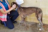 A woman pats a very skinny dog.