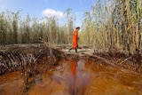 Washing ashore: A senior Greenpeace campaigner walks through a patch of oil at the mouth of the Mississippi River