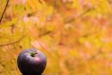 The new dark burgundy-coloured Bravo apple