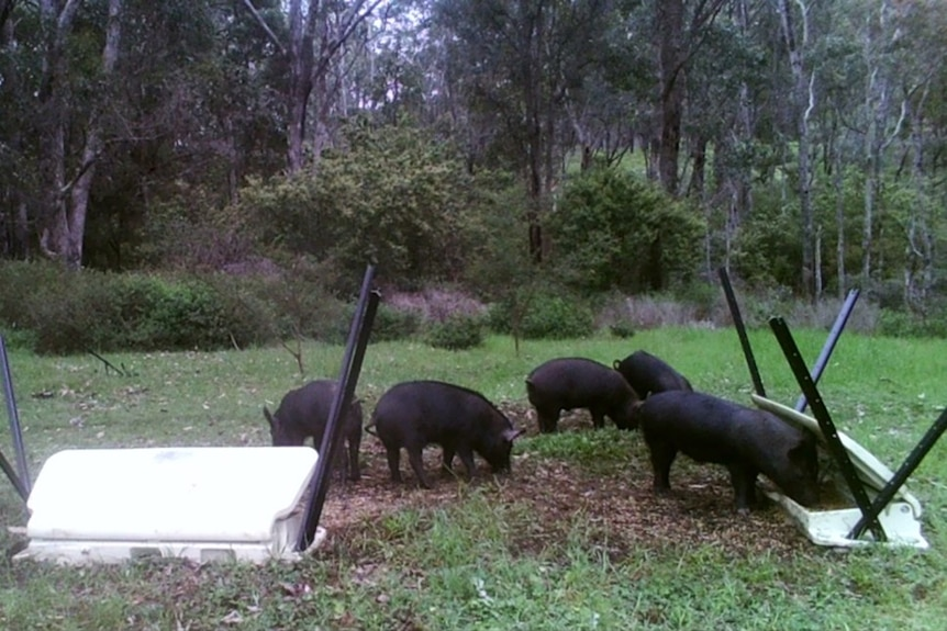 Five feral pigs feed from bait containers beside bushland.