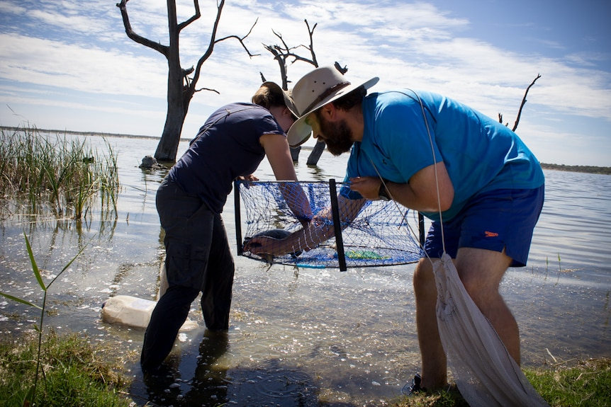 Researchers checking net at Lake Bonney for turtles