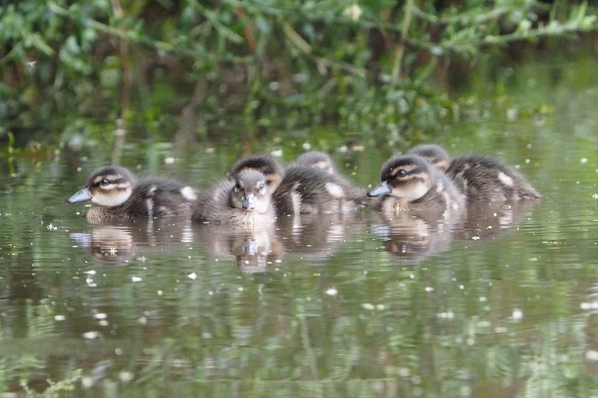 A group of ducklings swim on the water.