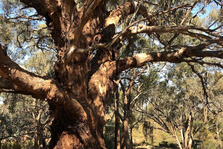 一棵名为Me-Mandook Galk的古树对于维州中部小镇Castlemaine附近的原住民部落Dja Dja Wurrung来说是具有重要文化意义的,此树被认为是圣树。
