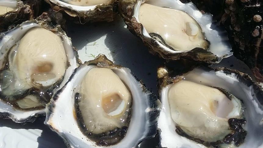 Shucked Tasmanian oysters