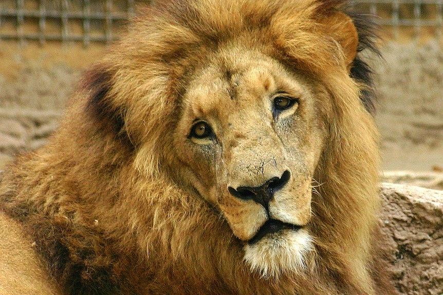 A male lion at the Barcelona Zoo in 2007.