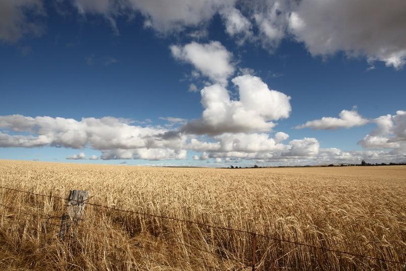A photo of a wheat crop.