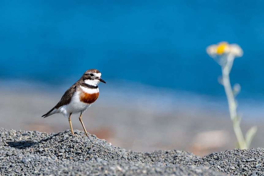 A small white, grey and reddish-brown bird standing on gravelly ground
