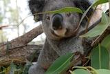 koala in tree at koala hospital