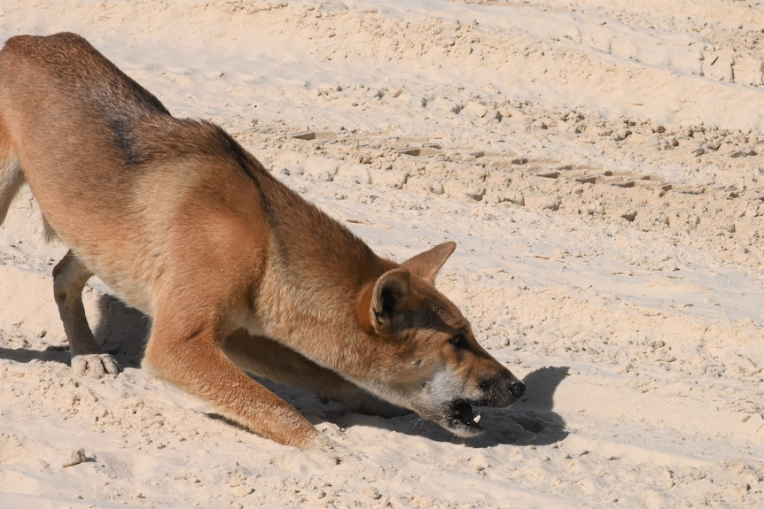 A dingo lunges forward, crouching in a hunting or playful pose, its mouth open.