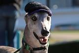 Greyhound in a hat