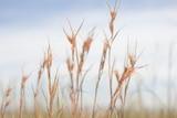 A close up photograph of Kangaroo Grass growing wild.