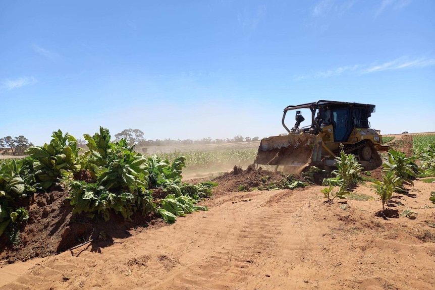 A bulldozer being used to destroy a tobacco crop growing on a rural property.