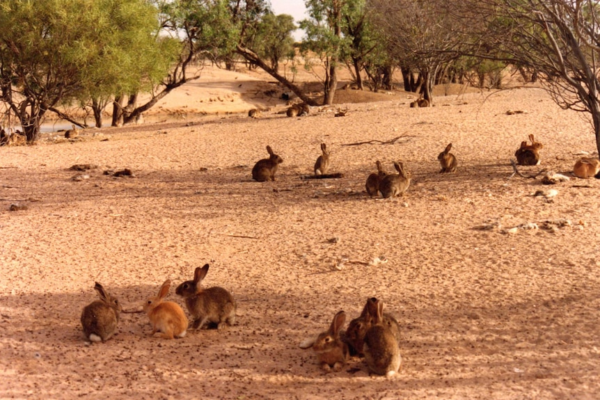 Lots of brown-coloured rabbits sit on dirt under small trees near a creek.