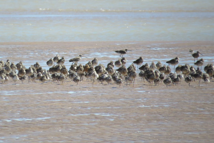 A large collection of birds rest of the sand on a beach.