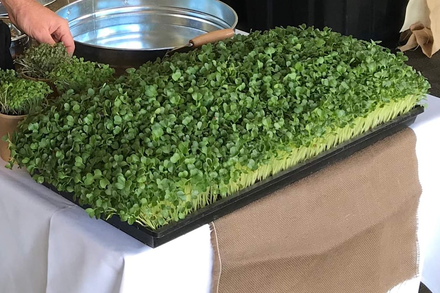 Close up on a large tray of microgreens on a table next to a silver platter