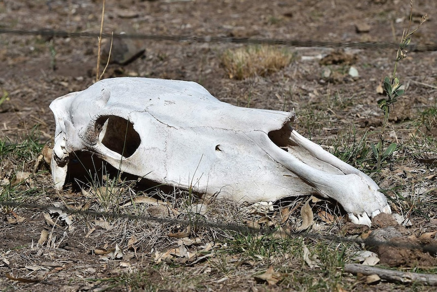 Horse skull at property north of Melbourne
