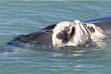 A dolphin swimming iin the ocean with a large open wound.