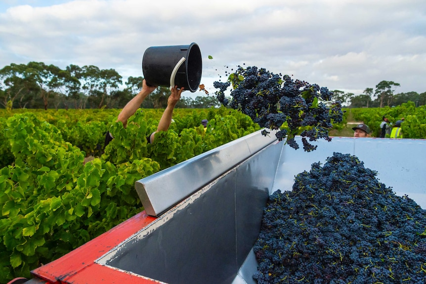 A bucket of grapes is thrown into a sorting tray.