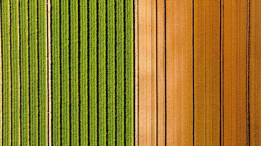 Contrast of green crop against brown dirt from above.