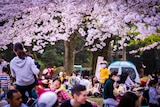 Japanese people sitting in a park under pink cherry blossom trees