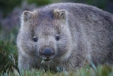 Wombat close up