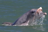 Dolphin with octopus on its head
