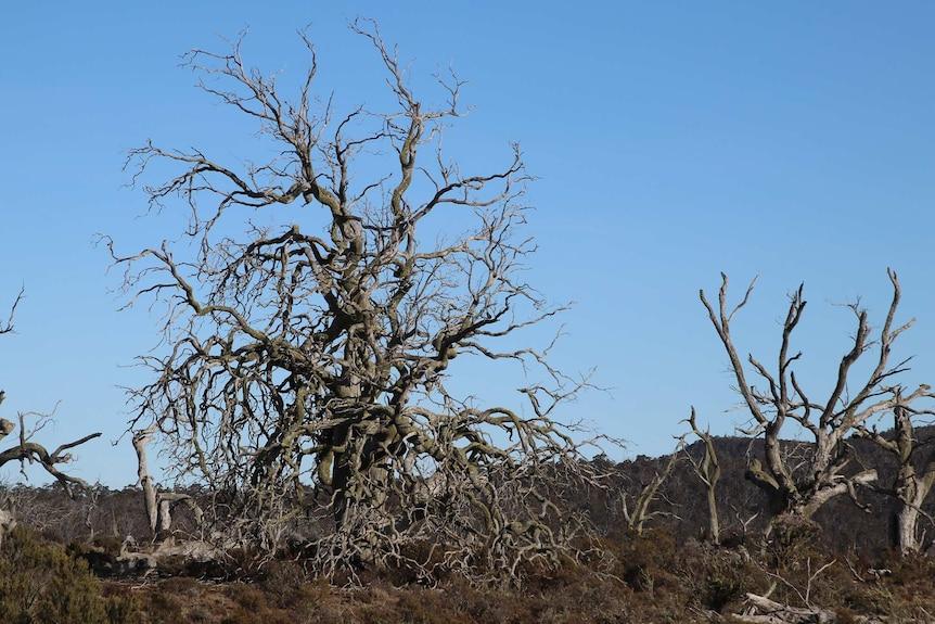 Dead cider gum trees.