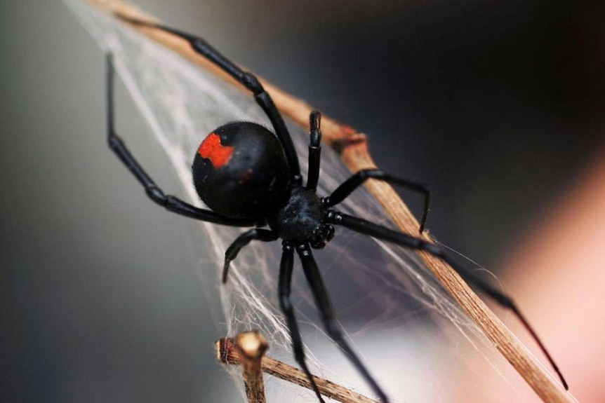 Red-back spiders lurking in Canberra