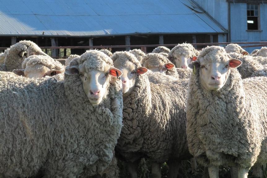 Sheep stare at camera