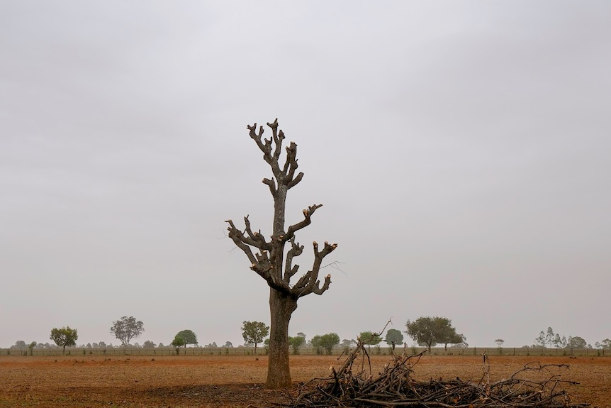 A lopped kurrajong stands tall in a brown paddock, its branches on the ground beside it.