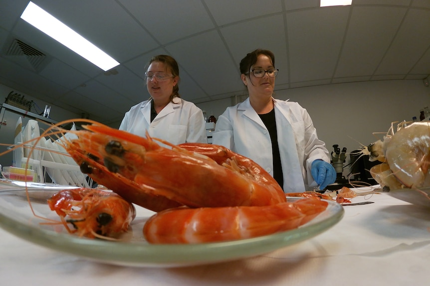 Prawns sit on a plate in front of scientists in white coats.