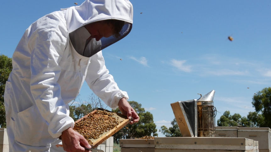 A figure in a white bee suit bends down over an open hive, looking at one of the inserts.