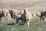 Meat and Livestock Australia's Sheep Industry projections reveal a positive outlook for the domestic lamb market.