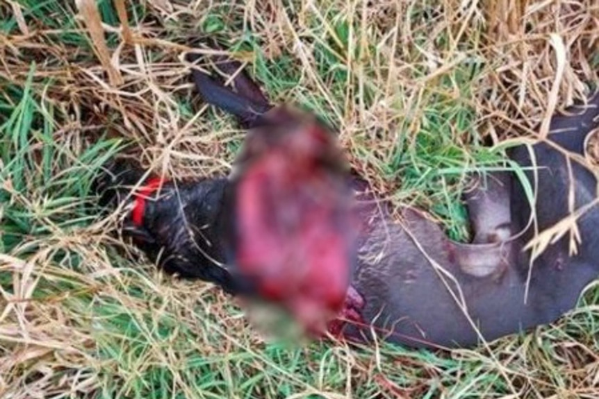 A photo of a greyhound lying in grass. Part of its torso is bloody.