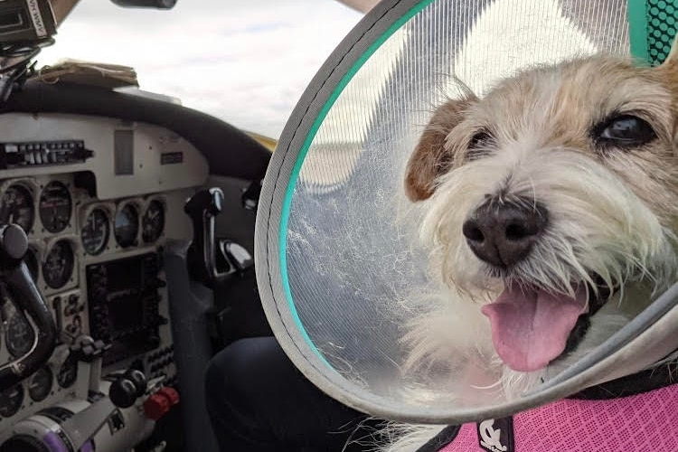 A dog wearing a protective cone inside a plane.