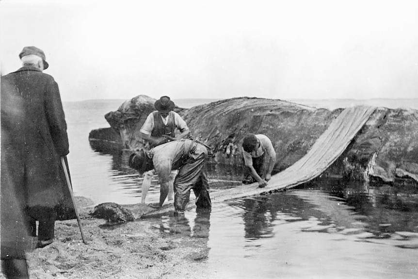 A group of men work on dismembering a whale carcass.
