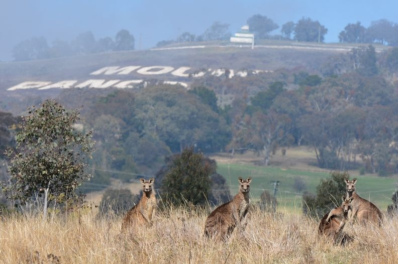 Kangaroos in a field with the Mount Panorama sign in the background.