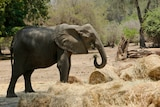 An elephant stands beside hay bales and eats in a dry park.