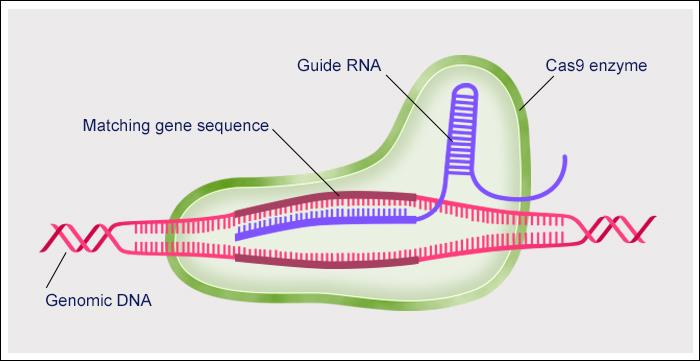 CRISPR-Cas9 attacks DNA