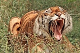 Radio collars have been put on Royal Bengal tigers so experts can learn more about their habits.
