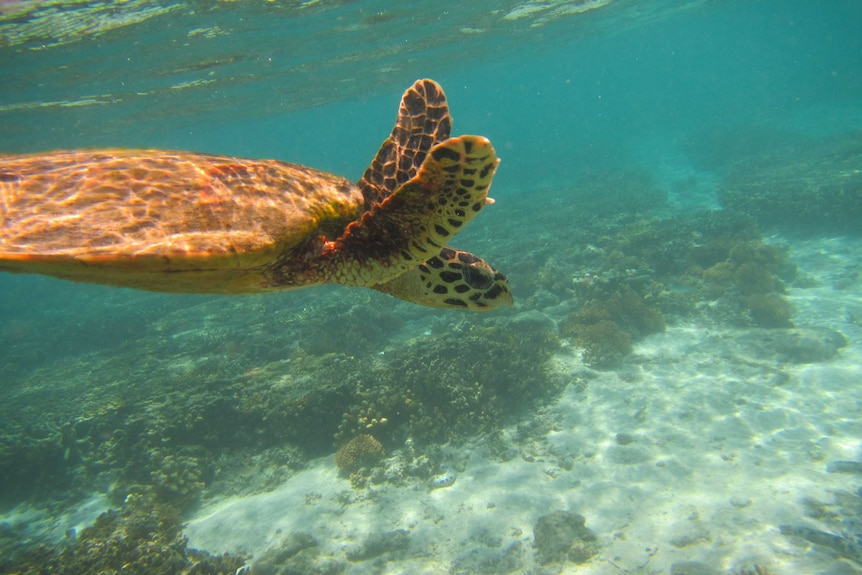A turtle spotted on the Great Barrier Reef