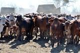 Vermelha cattle