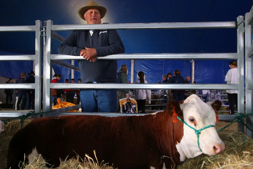 Gary Clarke looking at a cow.