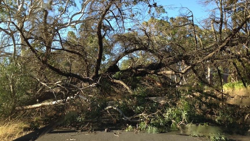 A fallen tree brought down power lines in Coromandel Valley in Adelaide.