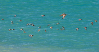 A flock of birds flying over the sea