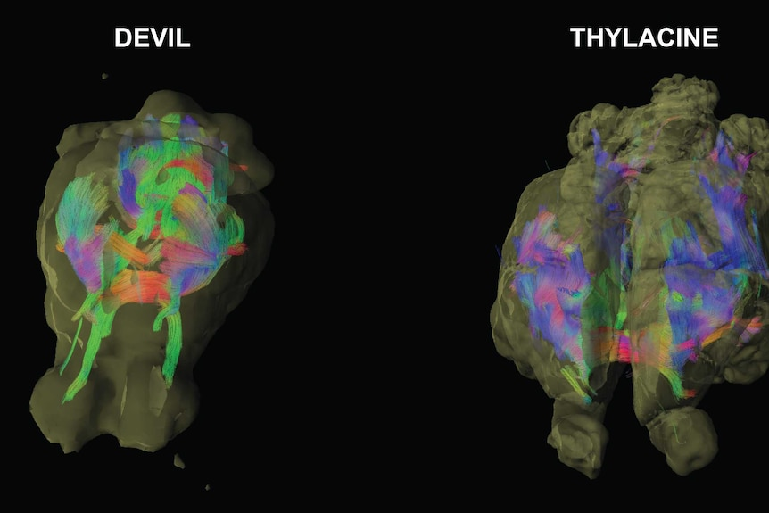 A diagram comparing the brain scans of the Tasmanian devil and Tasmanian tiger
