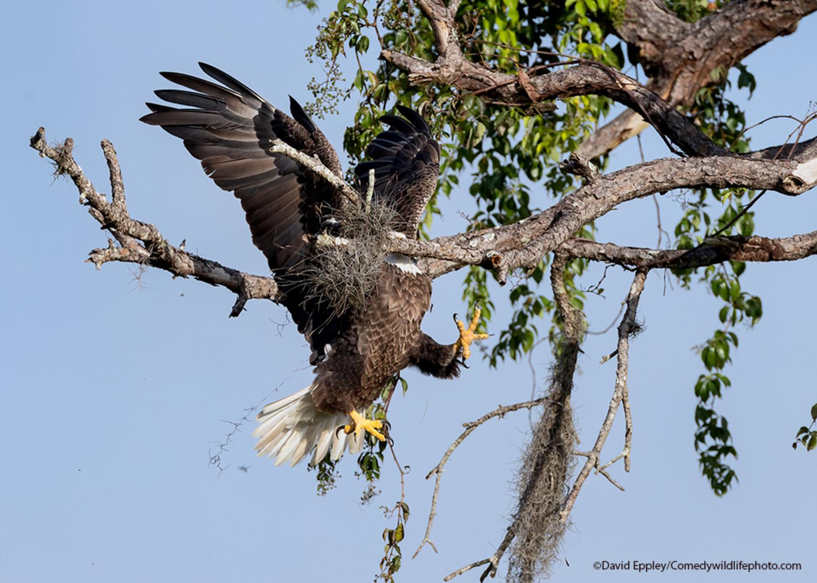 A bald eagle flies face first into a tree branch.
