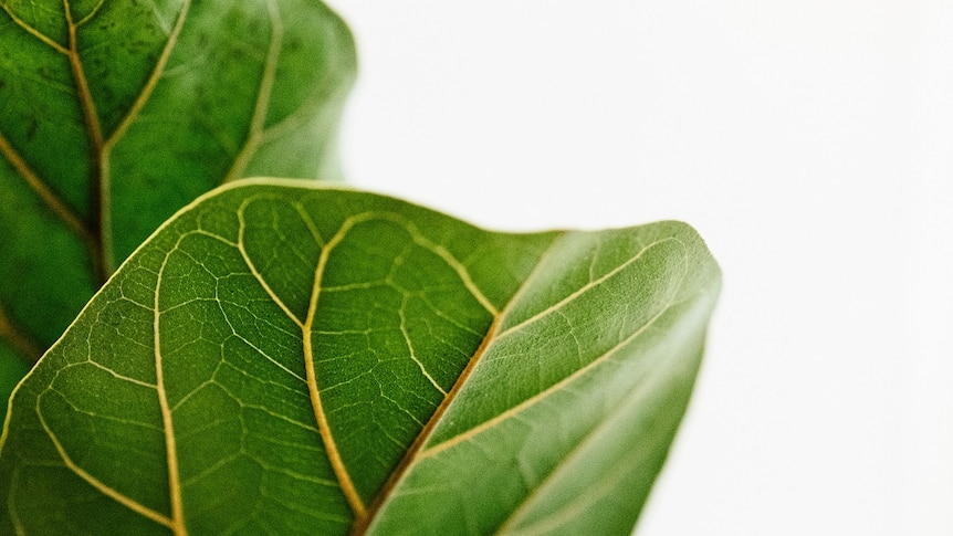 Leaves of a ficus for a story on keeping indoor plants alive