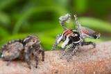 Maratus electricus, a new species of peacock spiders.